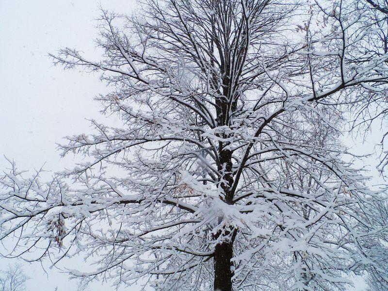 Snowy tree 2 (2)